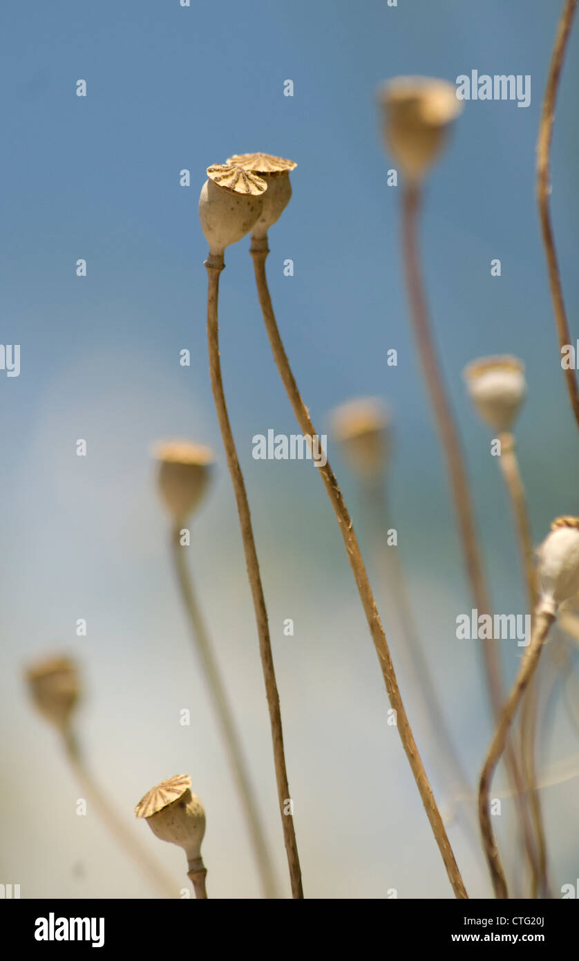 Papaver rhoeas, Poppy - Stock Image