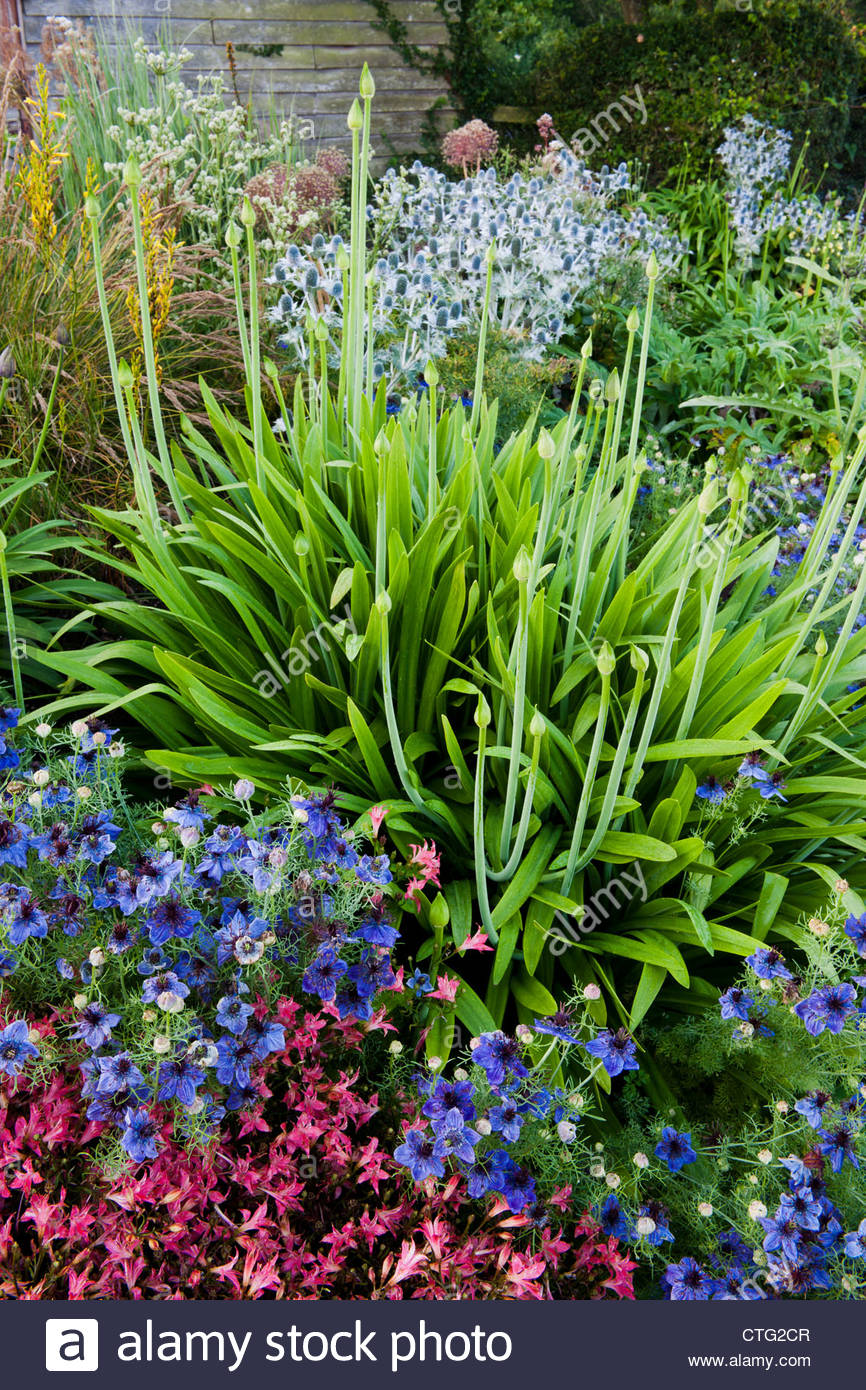 Agapanthus quink drops african blue lily leaves buds eryngium agapanthus quink drops african blue lily leaves buds eryngium spanish fennel nigella hispanica love in a mist summer flower izmirmasajfo Image collections