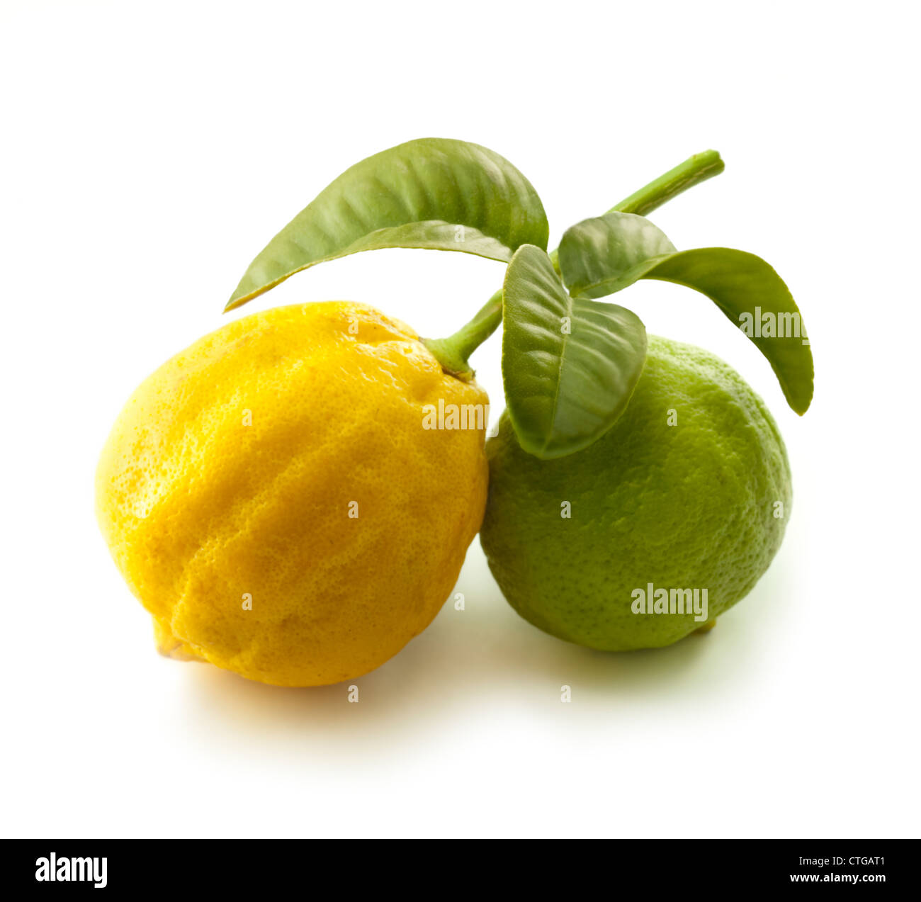 Citrus bergamia, Bergamot, Yellow and green fruit on a leafy stem against a white background. - Stock Image