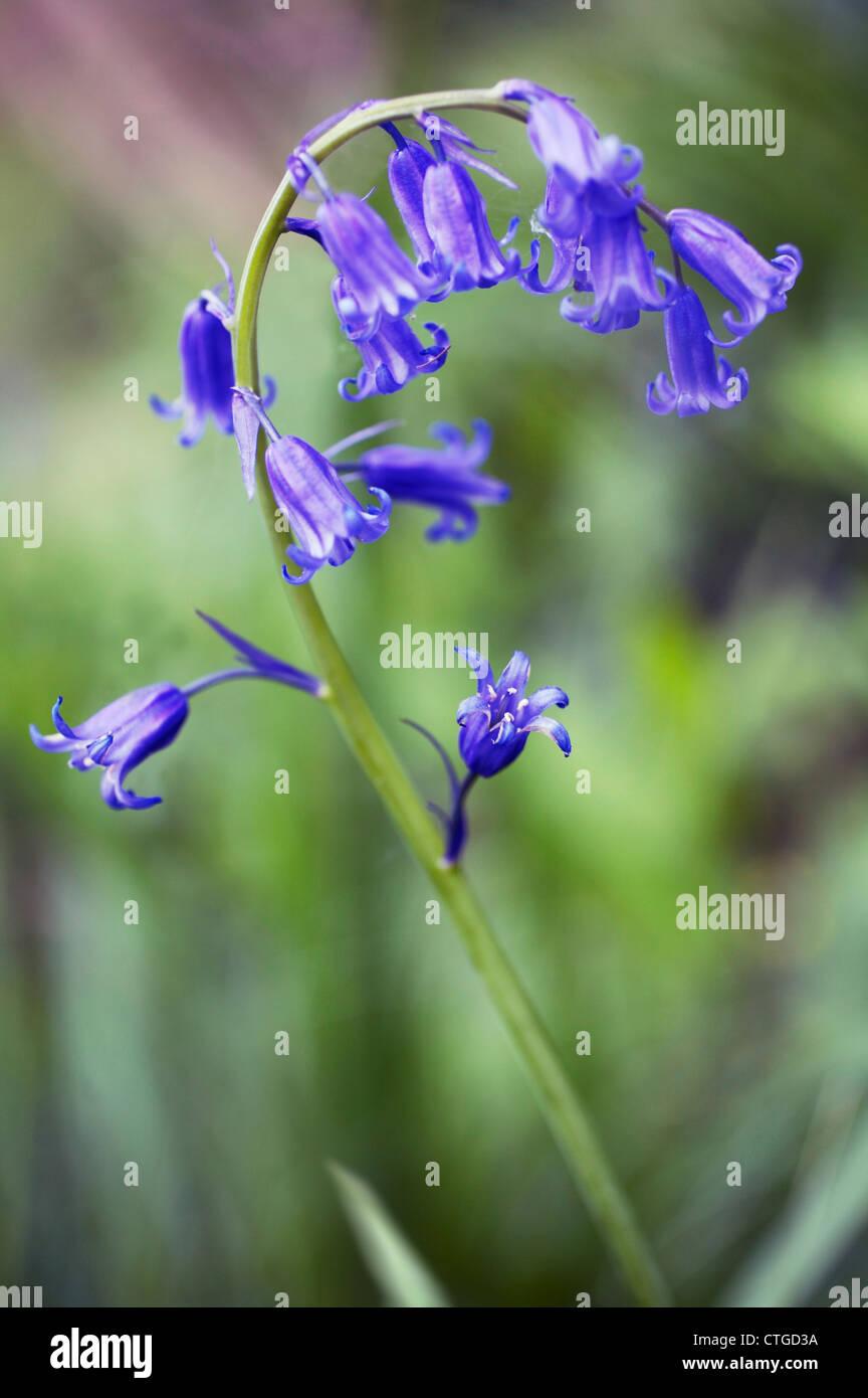 Hyacinthoides non-scripta, Bluebell, English bluebell - Stock Image