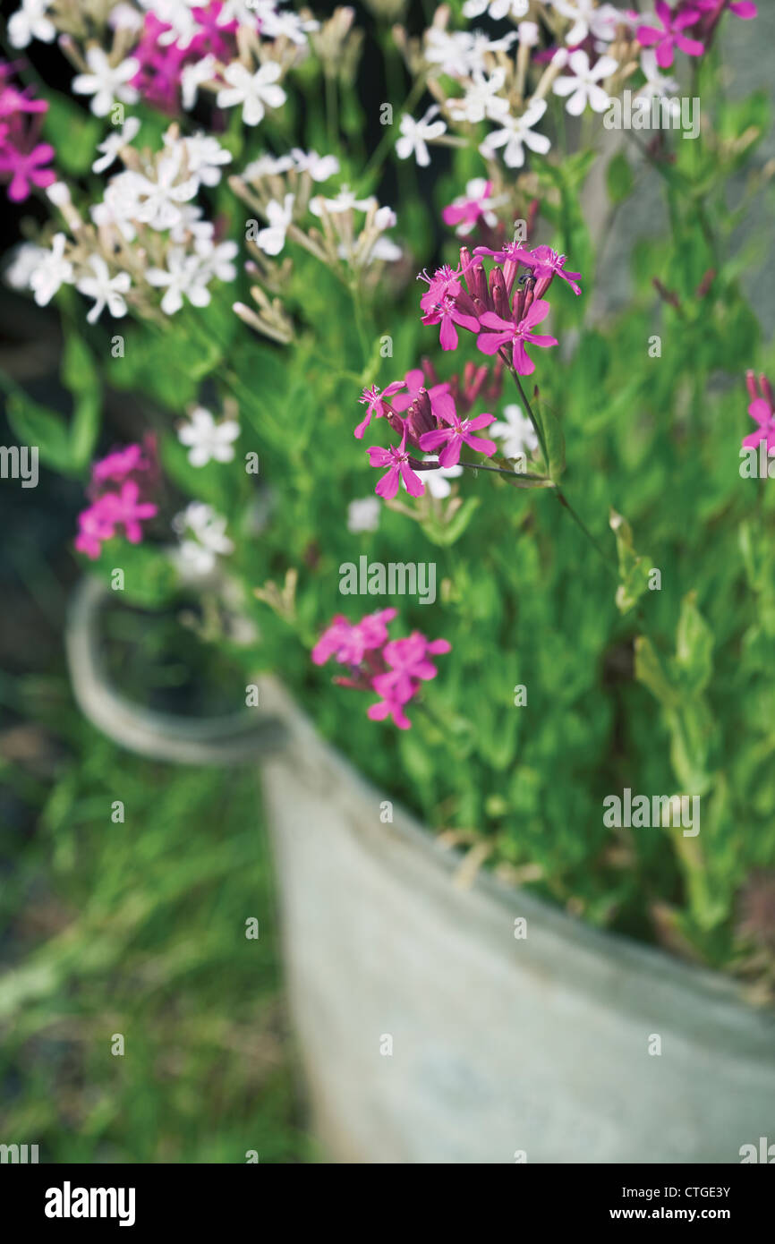 Silene Armeria Catchfly Pink And White Flowers On A Plant In A