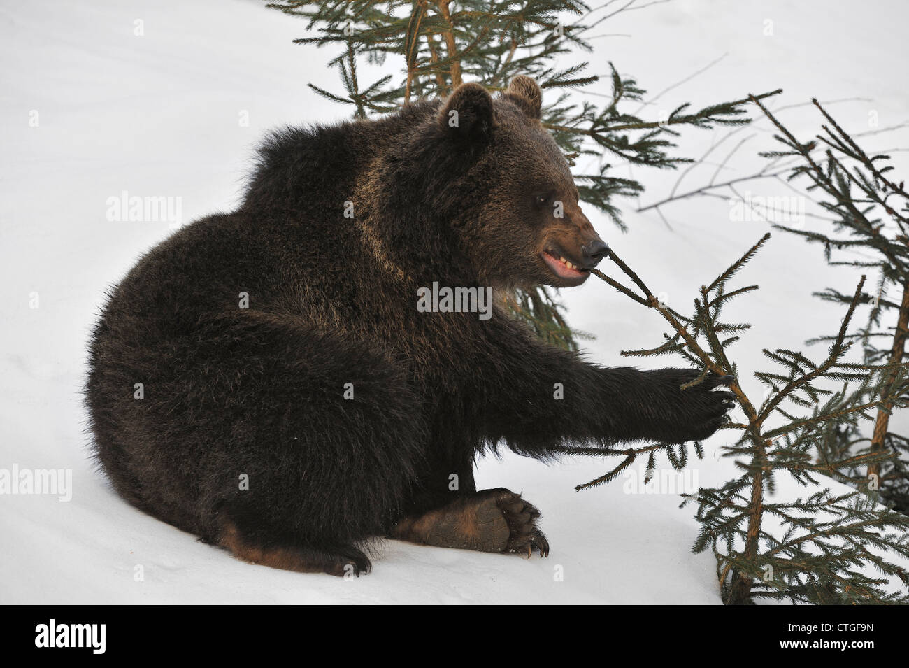 Two-year-old Eurasian brown bear (Ursus arctos arctos) cub playing with twig in the snow in early spring - Stock Image