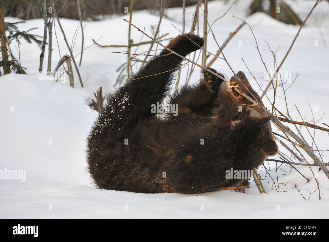 Two-year-old Eurasian brown bear (Ursus arctos arctos) cub playing on its back with twig in the snow in early spring - Stock Image