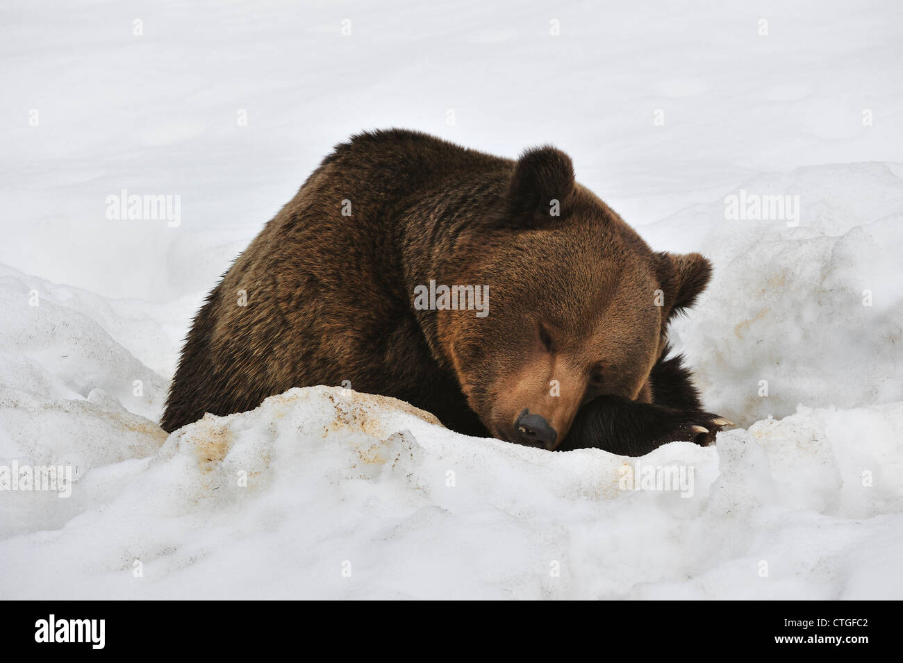 Eurasian brown bear (Ursus arctos arctos) sleeping in the snow in early spring after waking up from hibernating - Stock Image
