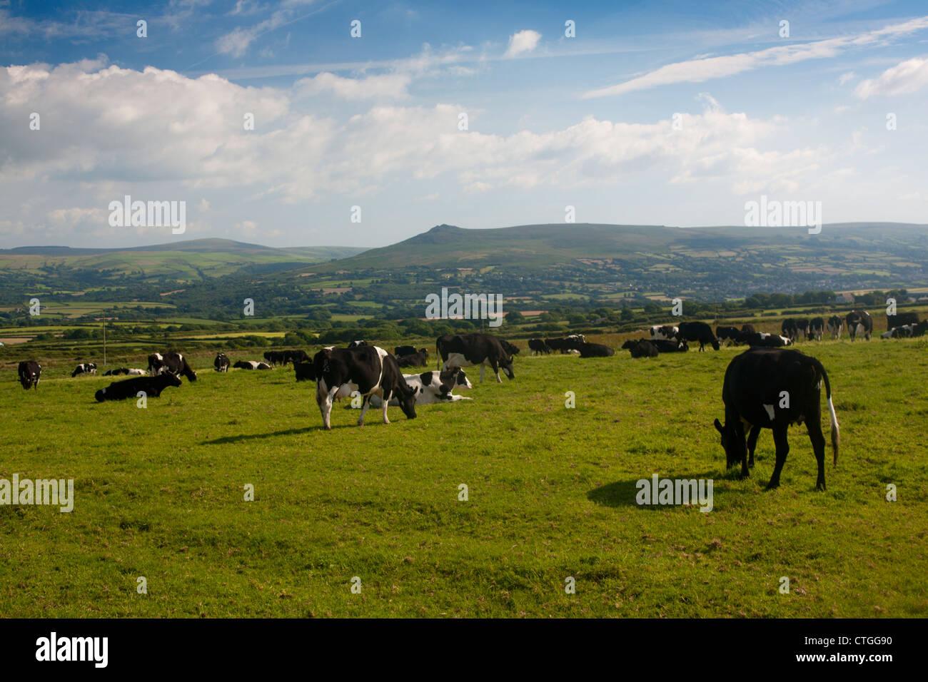 Dairy Farm Cattle In Field With Preseli Hills North Pembrokeshire Background Near Newport Trefdraeth West Wales UK