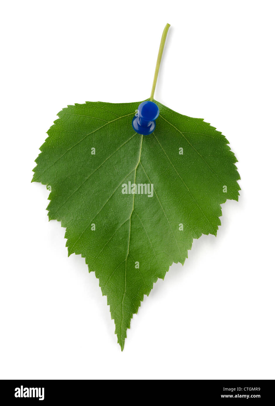 Green birch leaf reminder isolated on white - Stock Image
