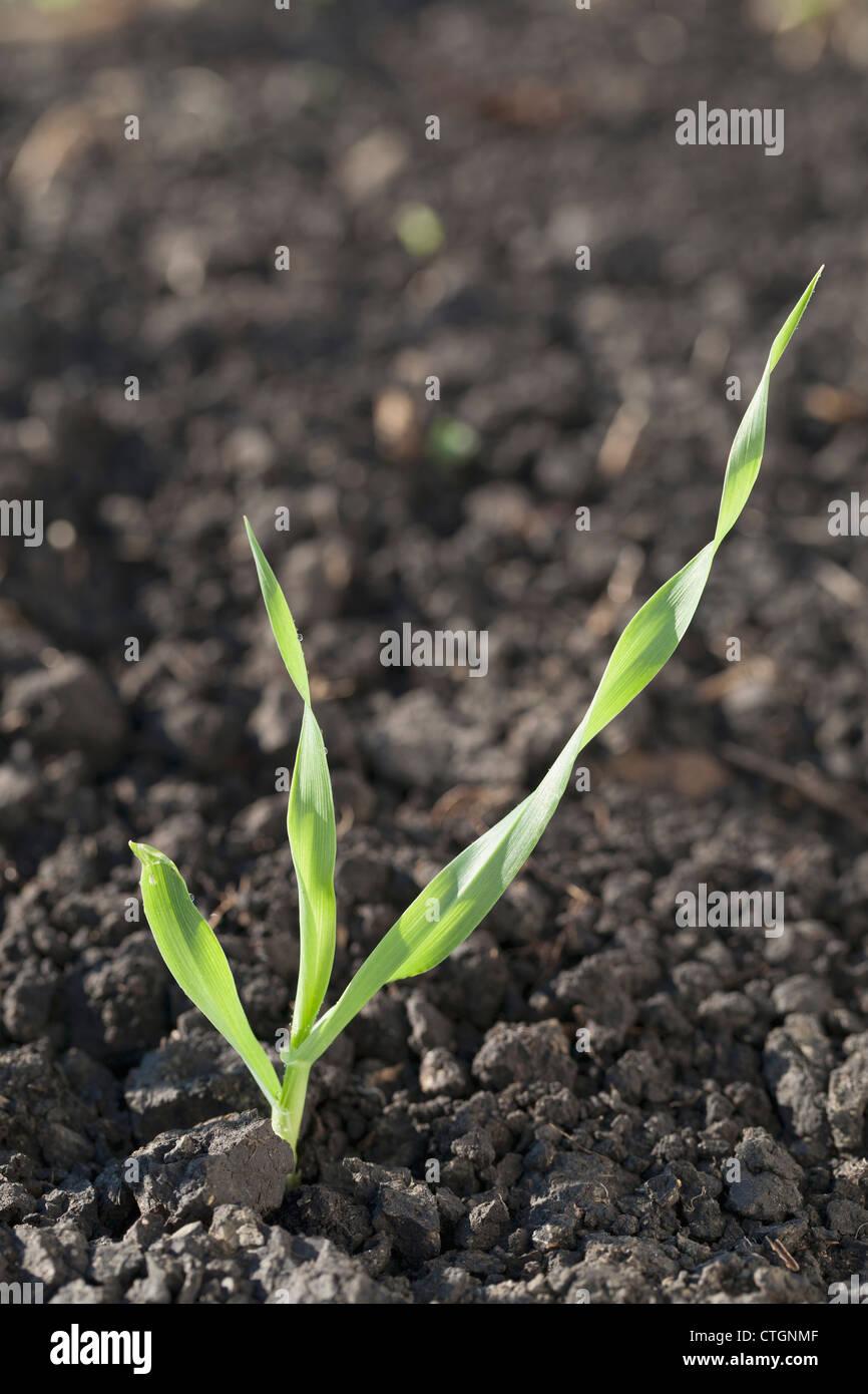 Close Up Of Barley Seedlings At The Three Leaf Stage; Black Diamond,Alberta, Canada Stock Photo