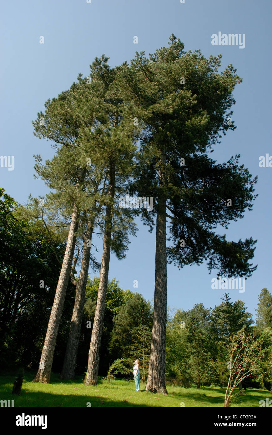 A woman looks up at some tall trees at Hergest Croft Gardens in Kington Herefordshire - Stock Image