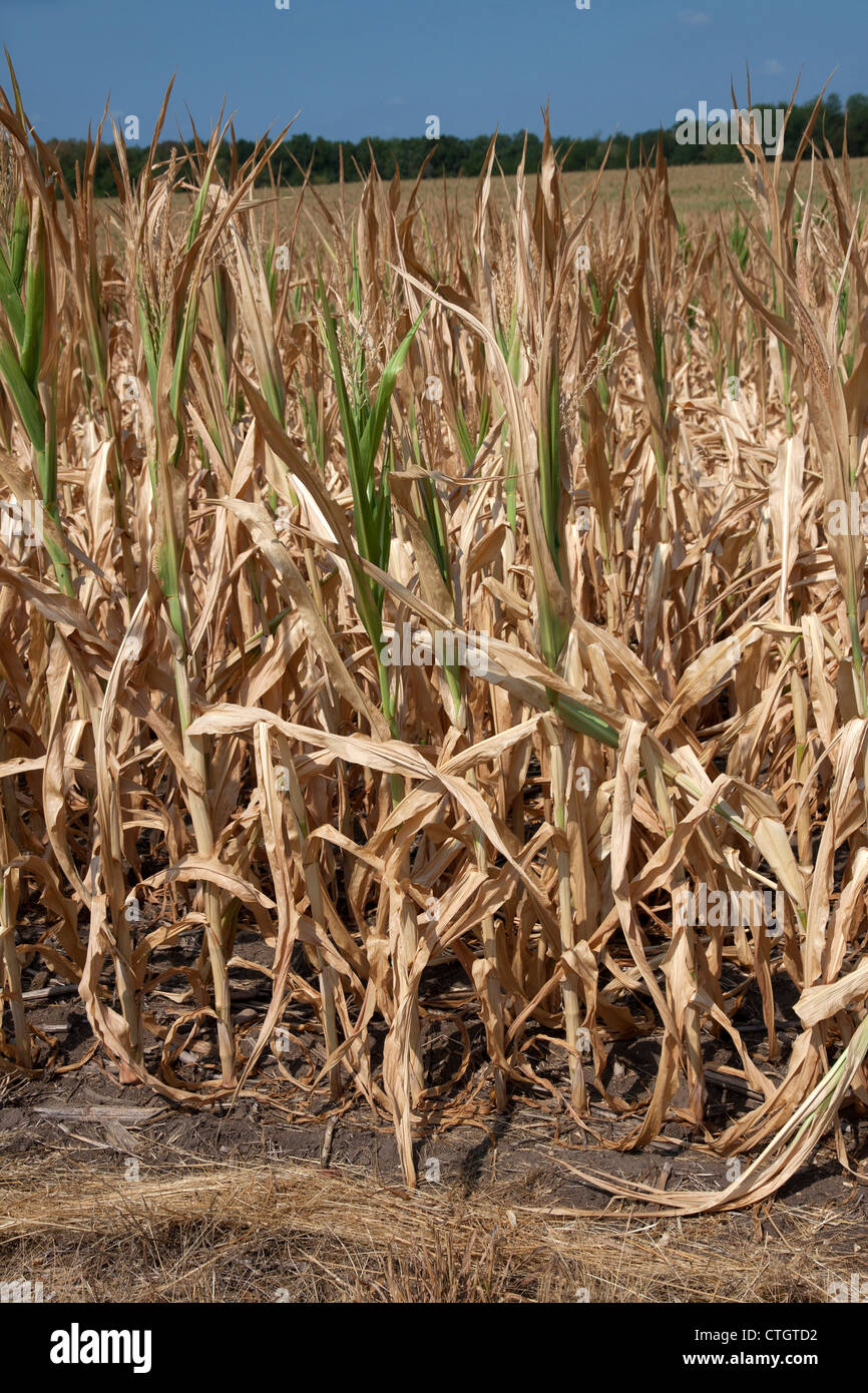 Corn crop suffering from drought conditions Indiana USA 2012 - Stock Image
