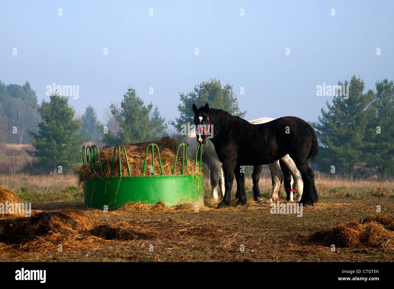 Draft  work horses eating hay at feeding station farm, Michigan USA - Stock Image
