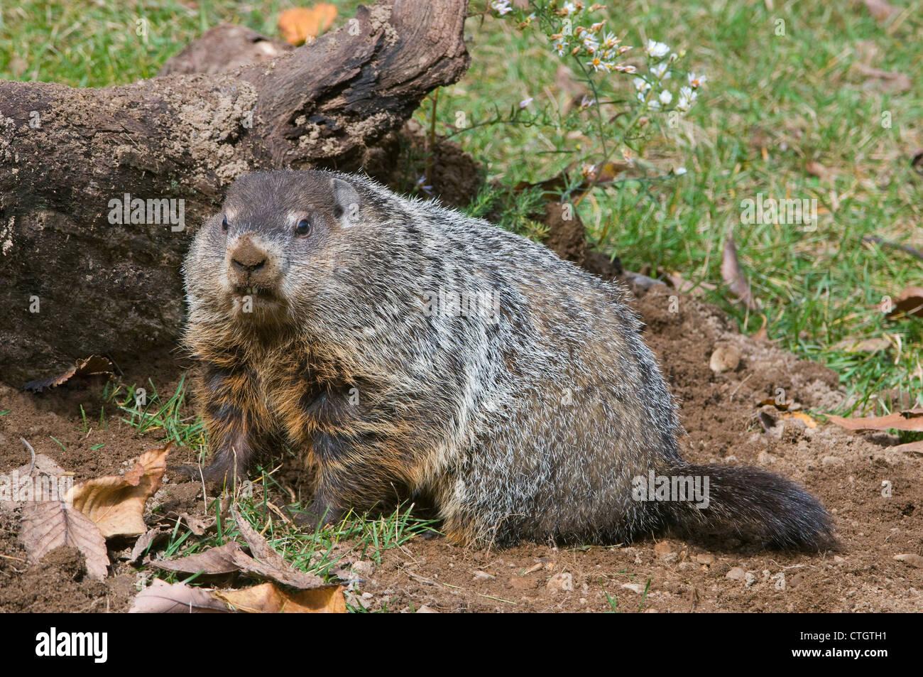 Woodchuck aka Groundhog Marmota monax digging at den E USA - Stock Image