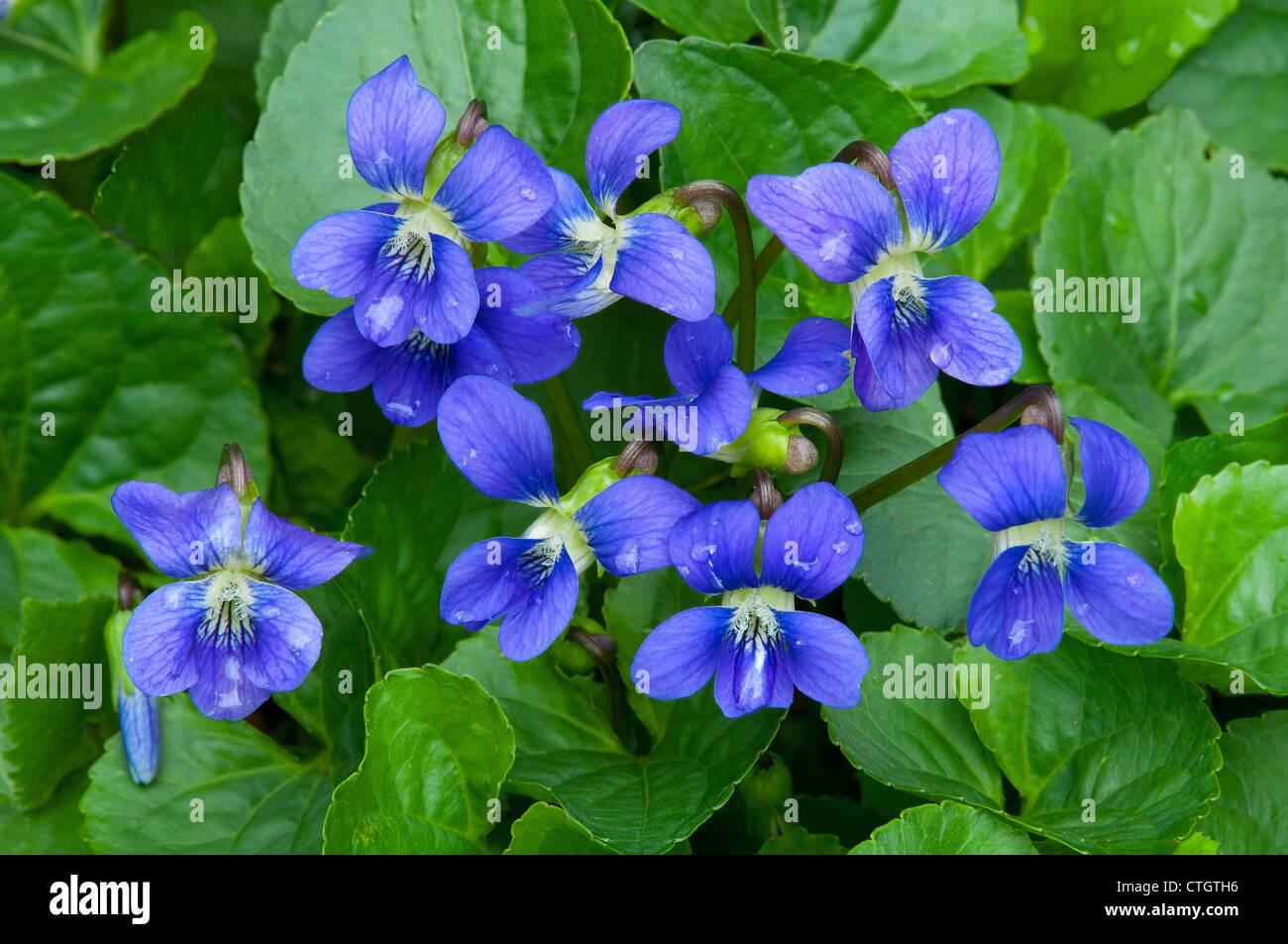 Common Blue Violet ( Viola sororia ) in flower, Spring Eastern USA - Stock Image
