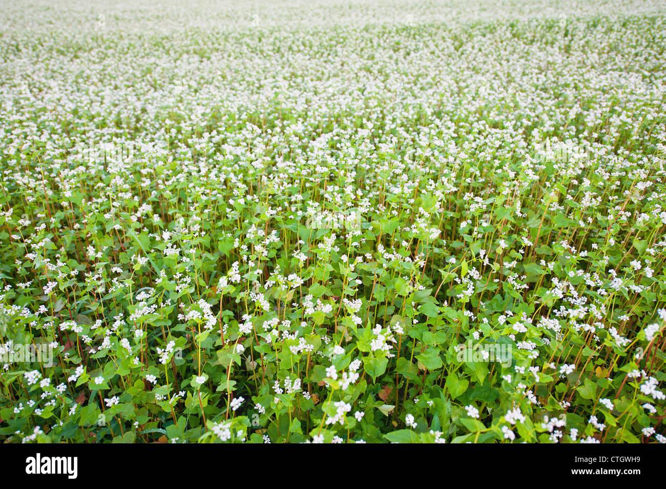 Field Buckwheat White Flowers Stock Photos Field Buckwheat White