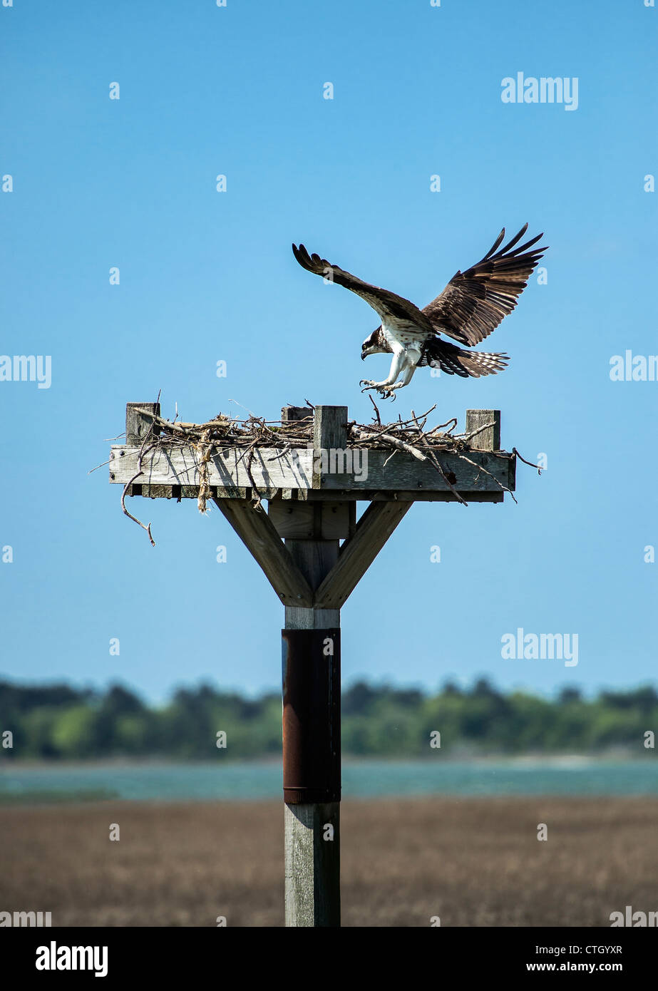 Osprey landing in salt marsh nest, Delaware - Stock Image