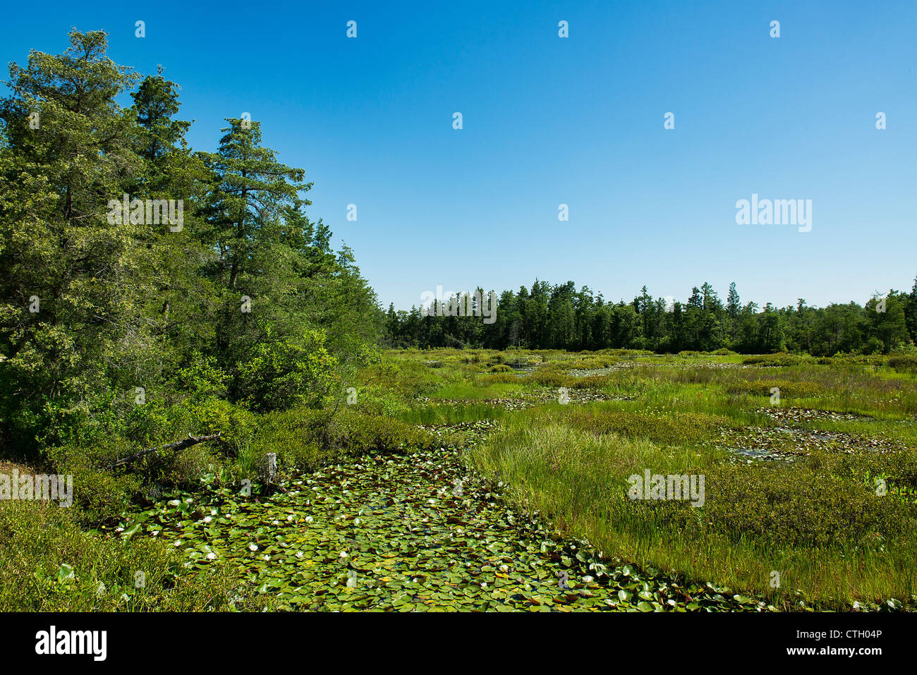 Swampy bogs, Pine Barrens, New Jersey, USA - Stock Image