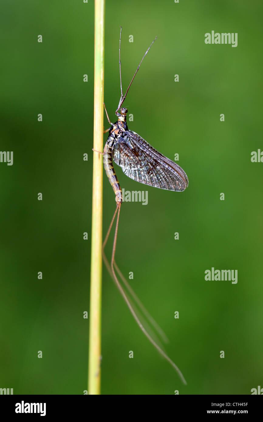 Brown Mayfly Ephemera vulgata - Stock Image