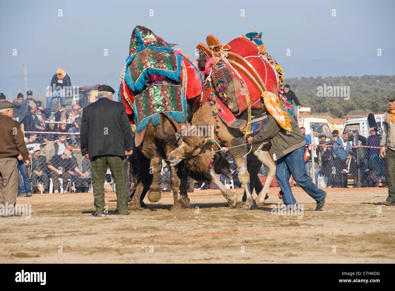 Camel Wrestling, Izmir, Turkey - Stock Image