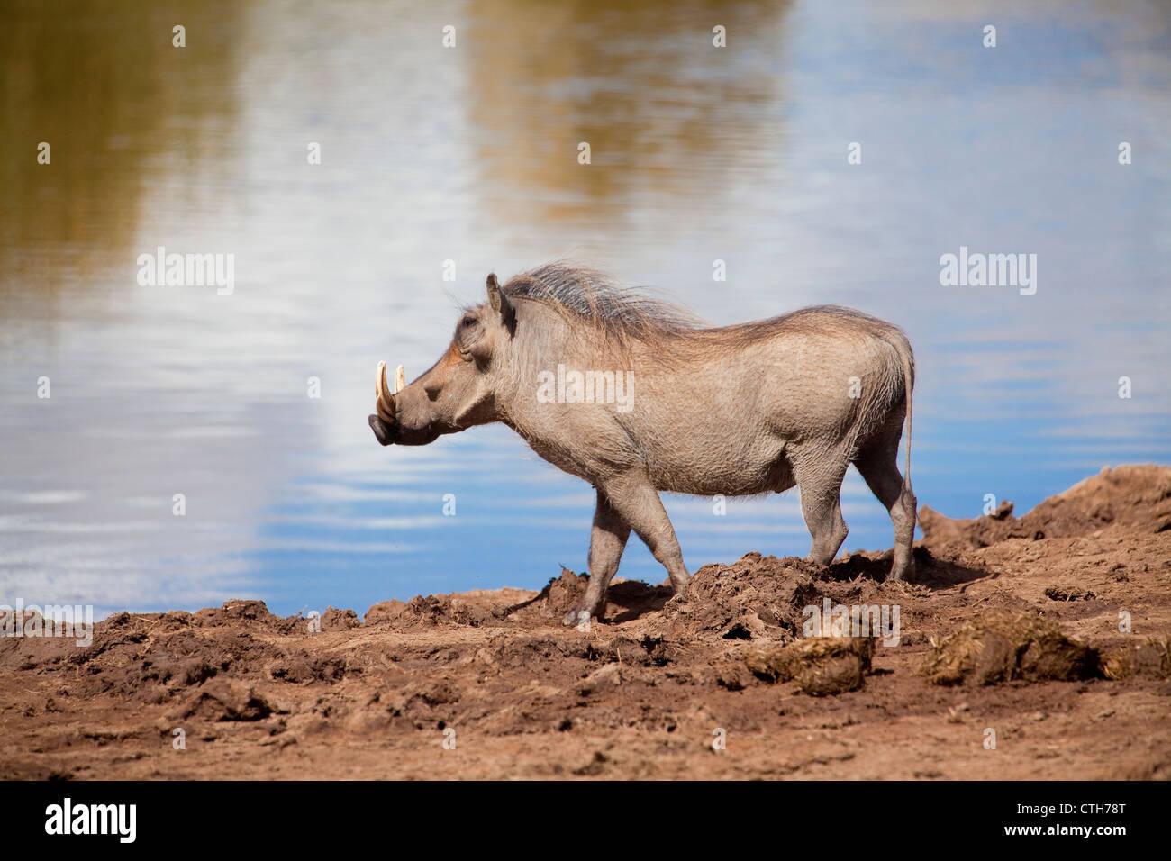 Warzenschwein im Addo Elephantpark, Südafrika - Stock Image