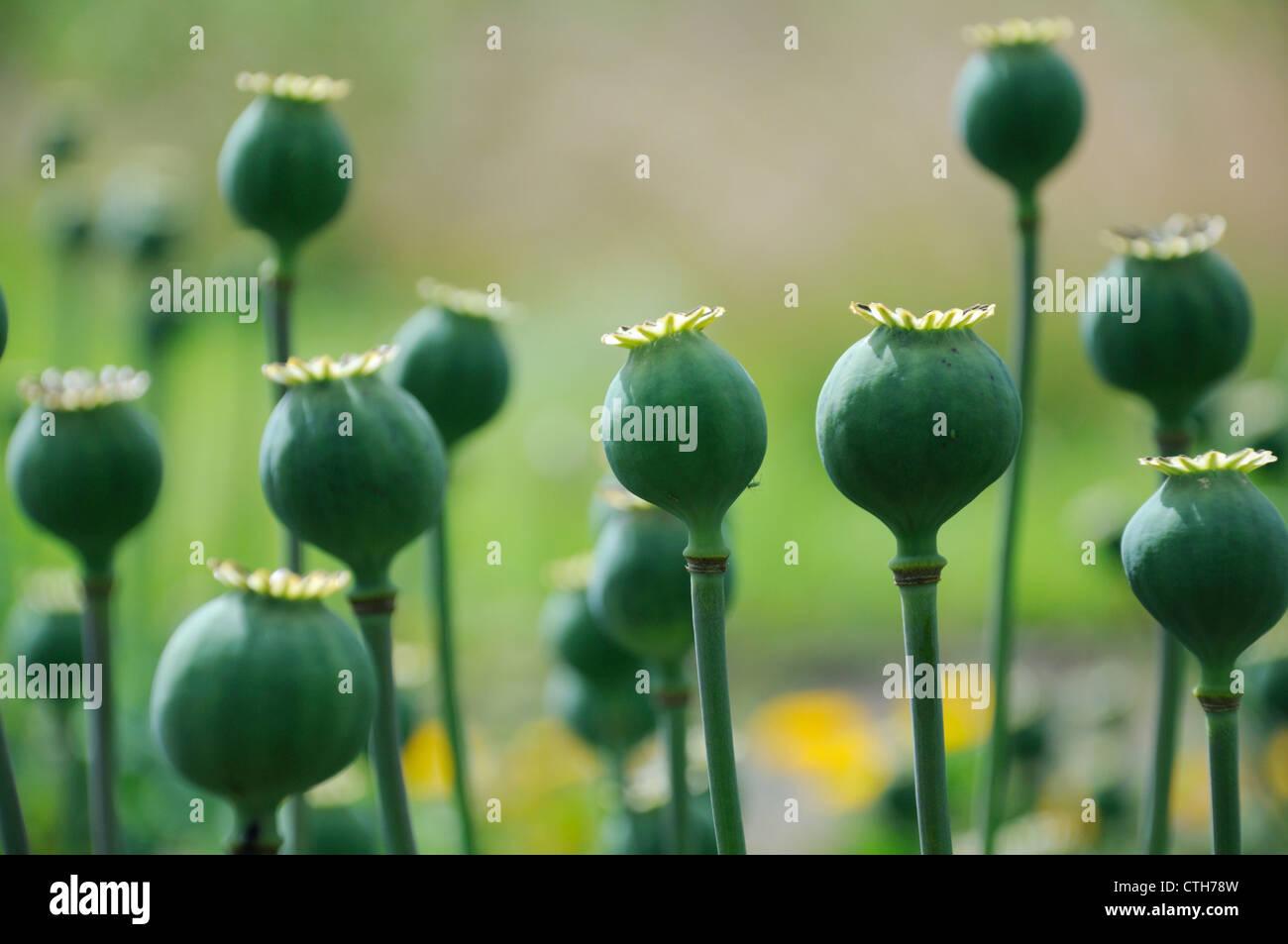 Papaver somniferum, Poppy, Opium poppy Stock Photo