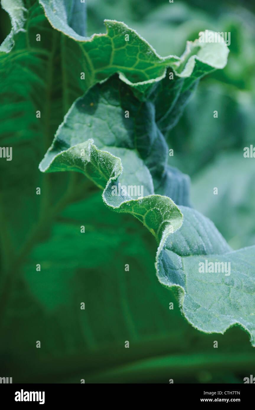 Rheum rhabarbarum, Rhubarb - Stock Image
