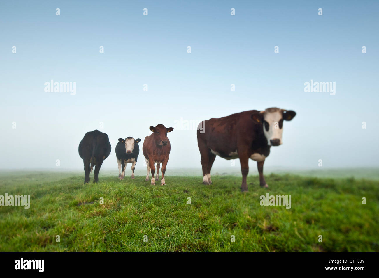 The Netherlands, Tienhoven, Cows in morning mist in Molenpolder. - Stock Image