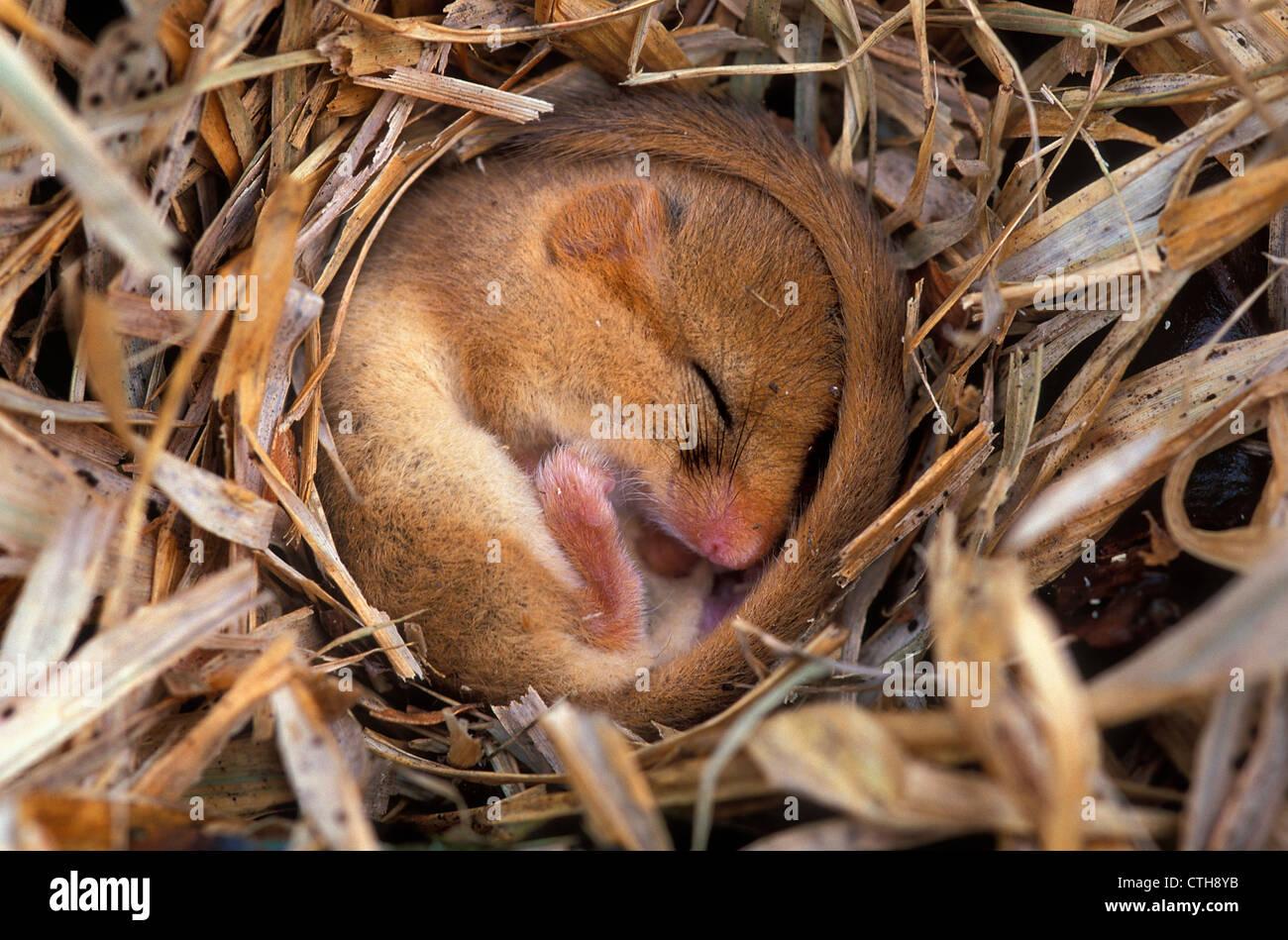 Dormouse in hibernation, Dorset, UK - Stock Image