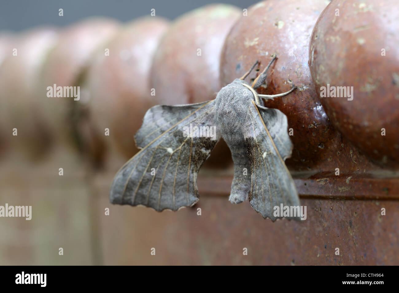 Poplar Hawkmoth; Laothoe populi; flash sequence; flash exposure compensation -2; UK - Stock Image