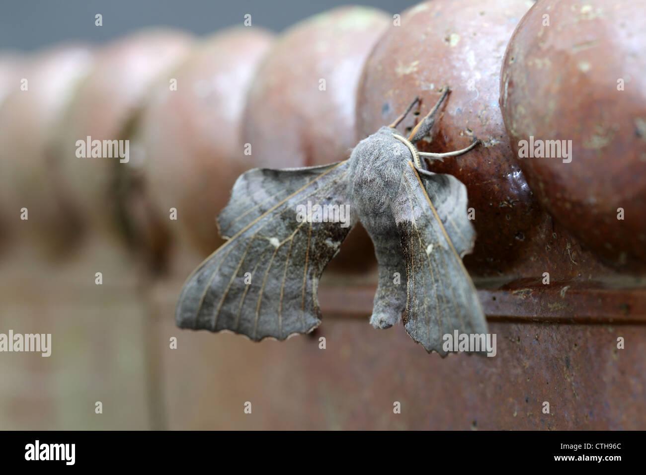 Poplar Hawkmoth; Laothoe populi; flash sequence; flash exposure compensation -3; UK - Stock Image