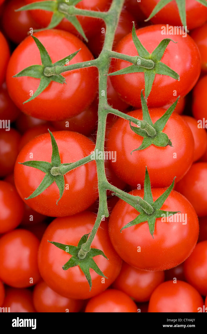 fresh ripe red tomatoes on the vine harvested - Stock Image