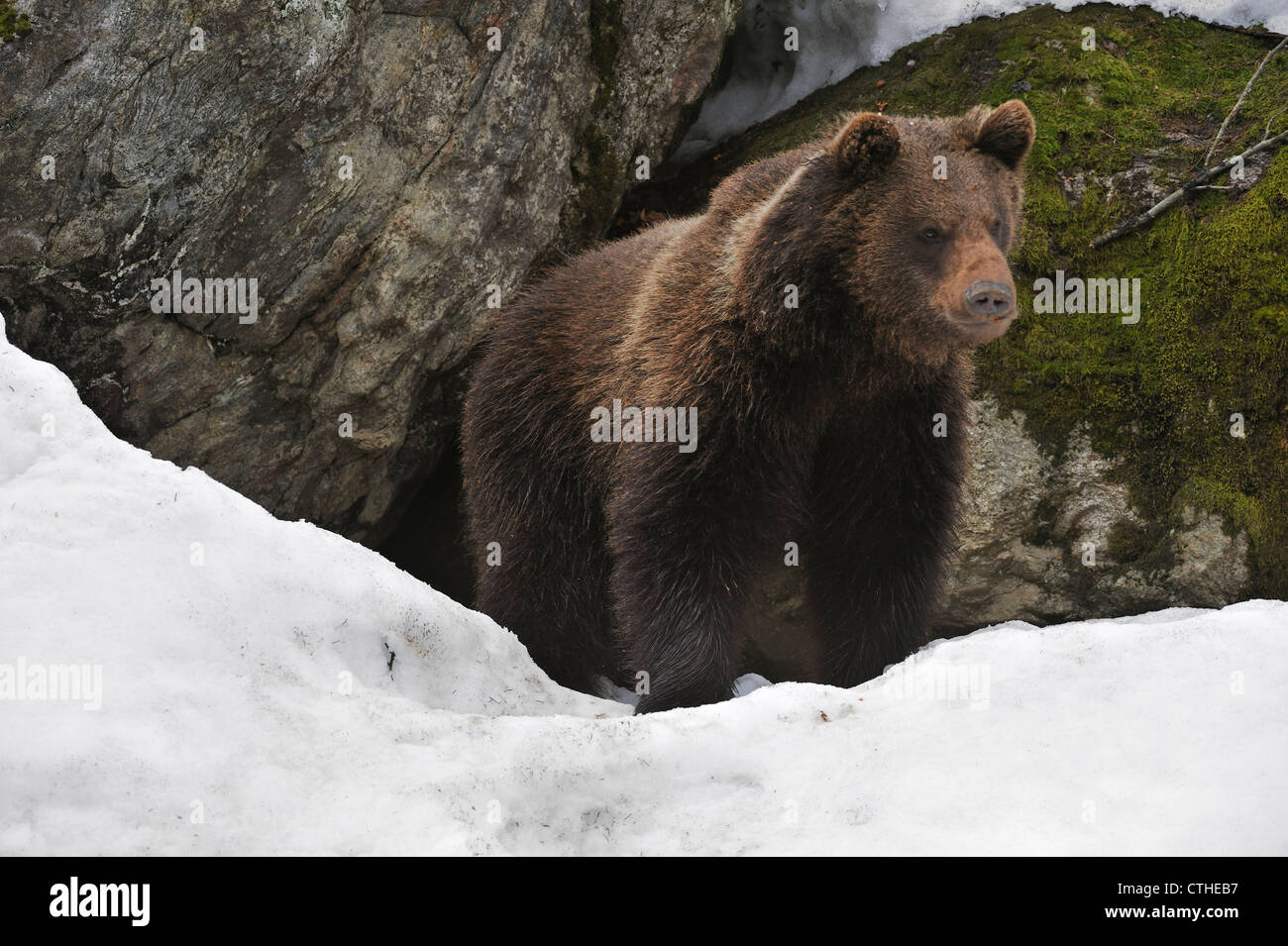 Eurasian brown bear (Ursus arctos arctos) in the snow in early spring emerging from den among rocks in woodland, - Stock Image