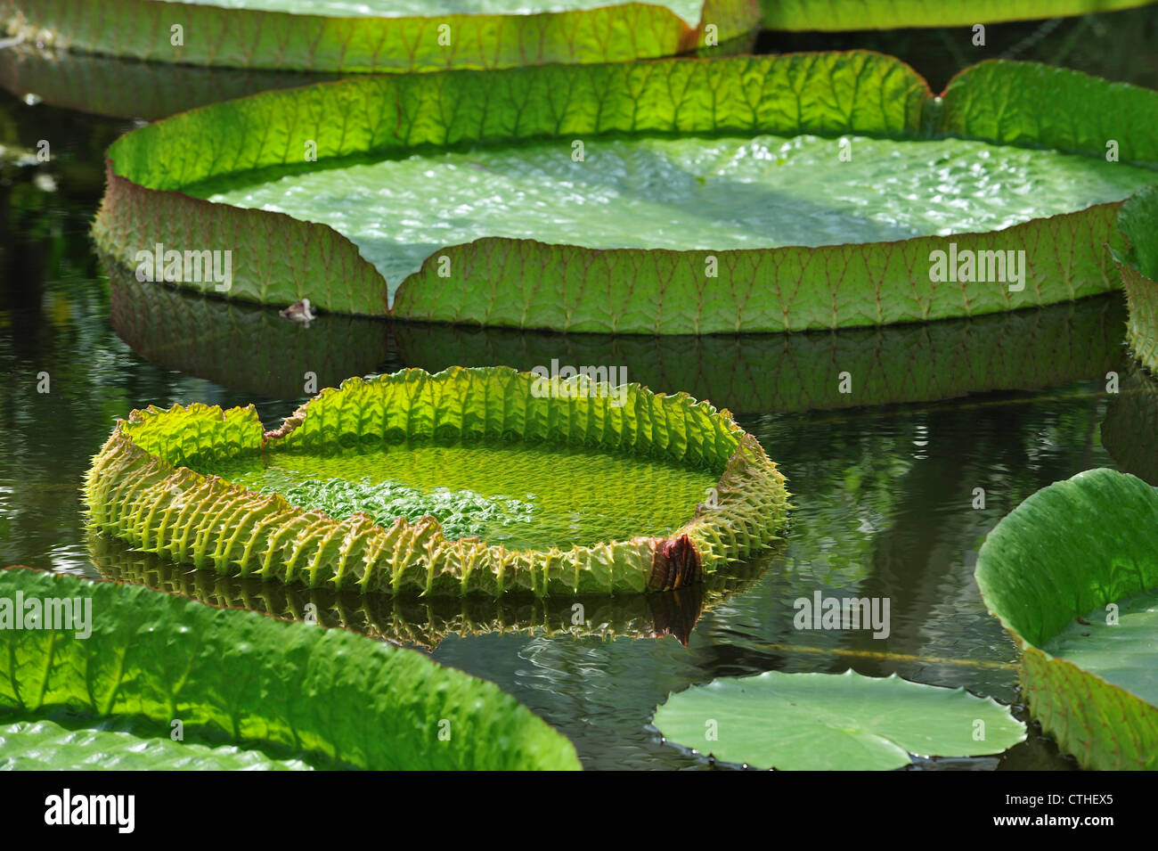 Giant water lily pads (Victoria amazonica corbanie / Victoria regia), native to South America, National Botanic - Stock Image