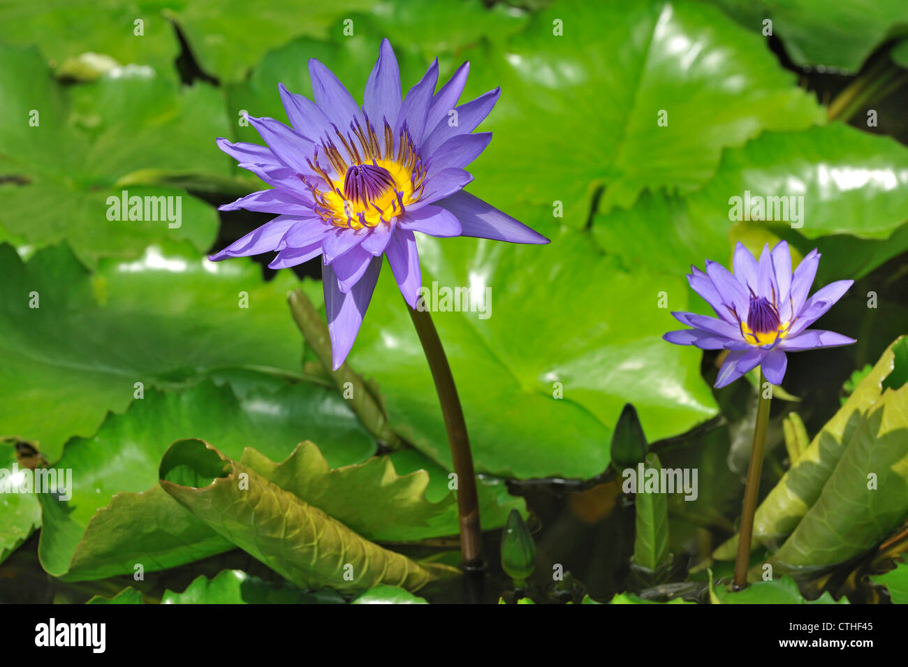 Tropical water lily Nymphaea Director G.T Moore in the National Botanic Garden of Belgium - Stock Image