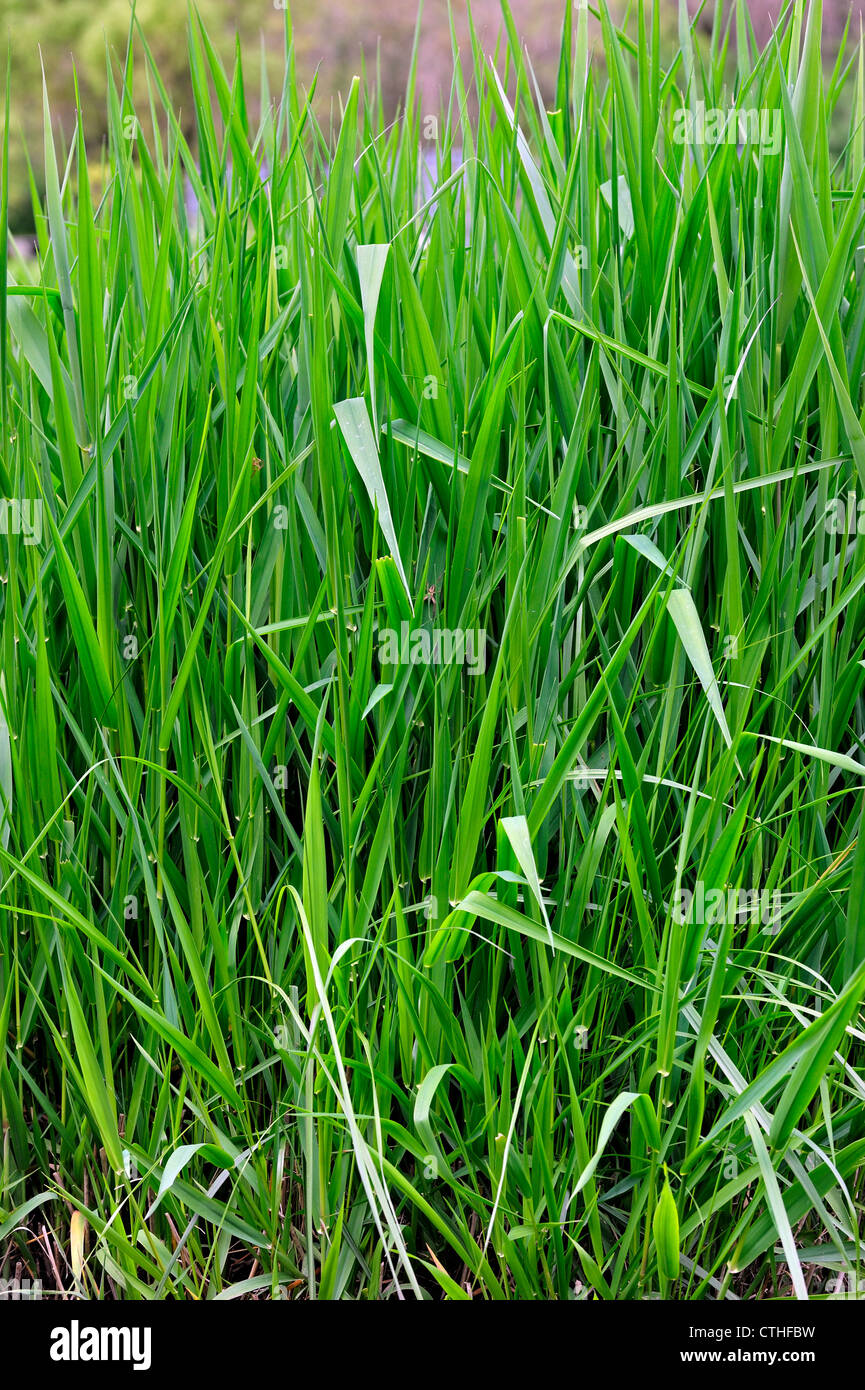 Reed canarygrass / Reed canary grass (Phalaris arundinacea), native to Europe, Asia, Northern Africa and North America, - Stock Image