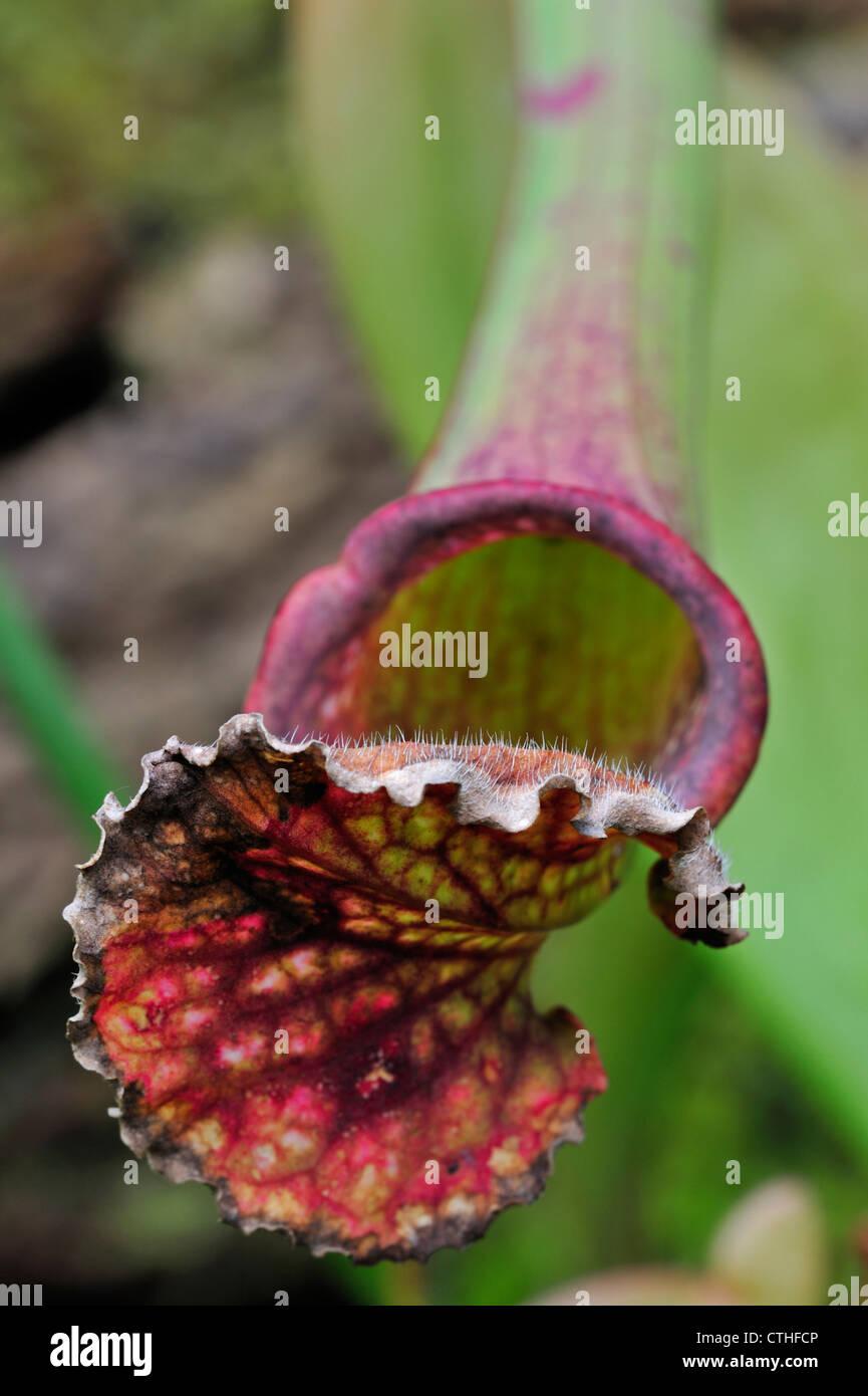 Carnivorous trumpet pitcher plants Sarracenia Stevensii native to North America, US - Stock Image