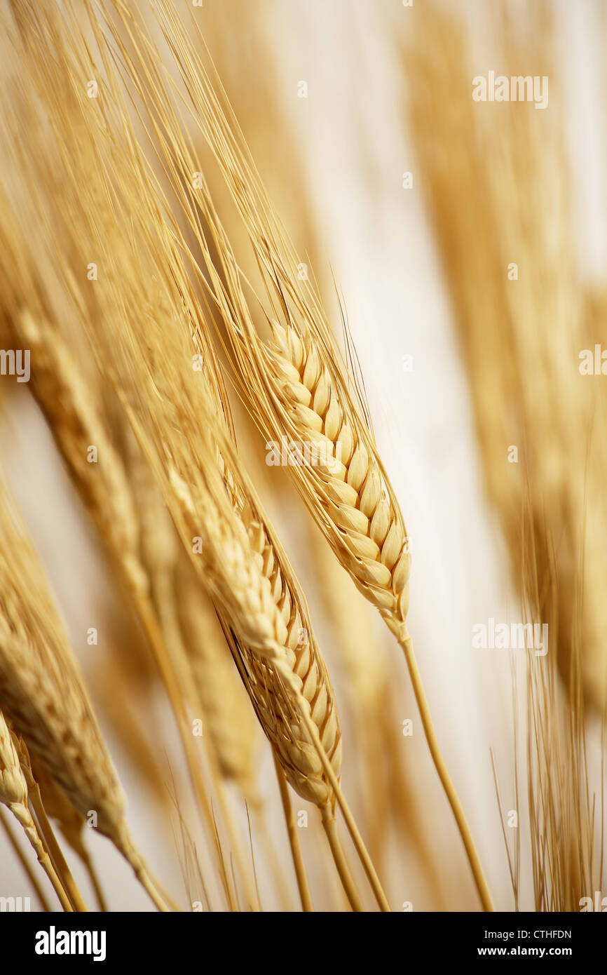 wheat field cultivated with sunrise - Stock Image