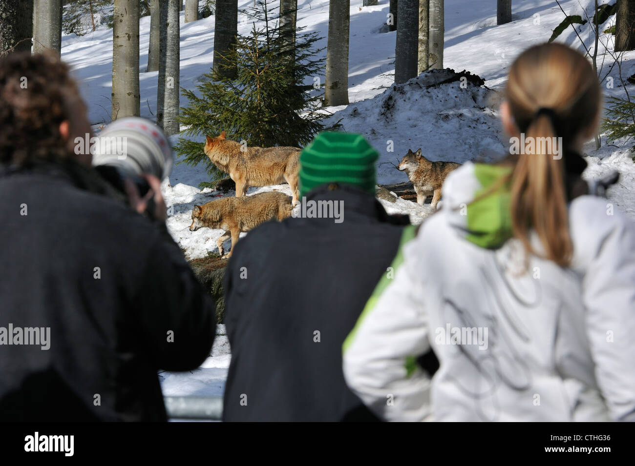 Tourists and wildlife photographers looking at wolves in wildpark in the snow in winter, Bavarian Forest National Stock Photo