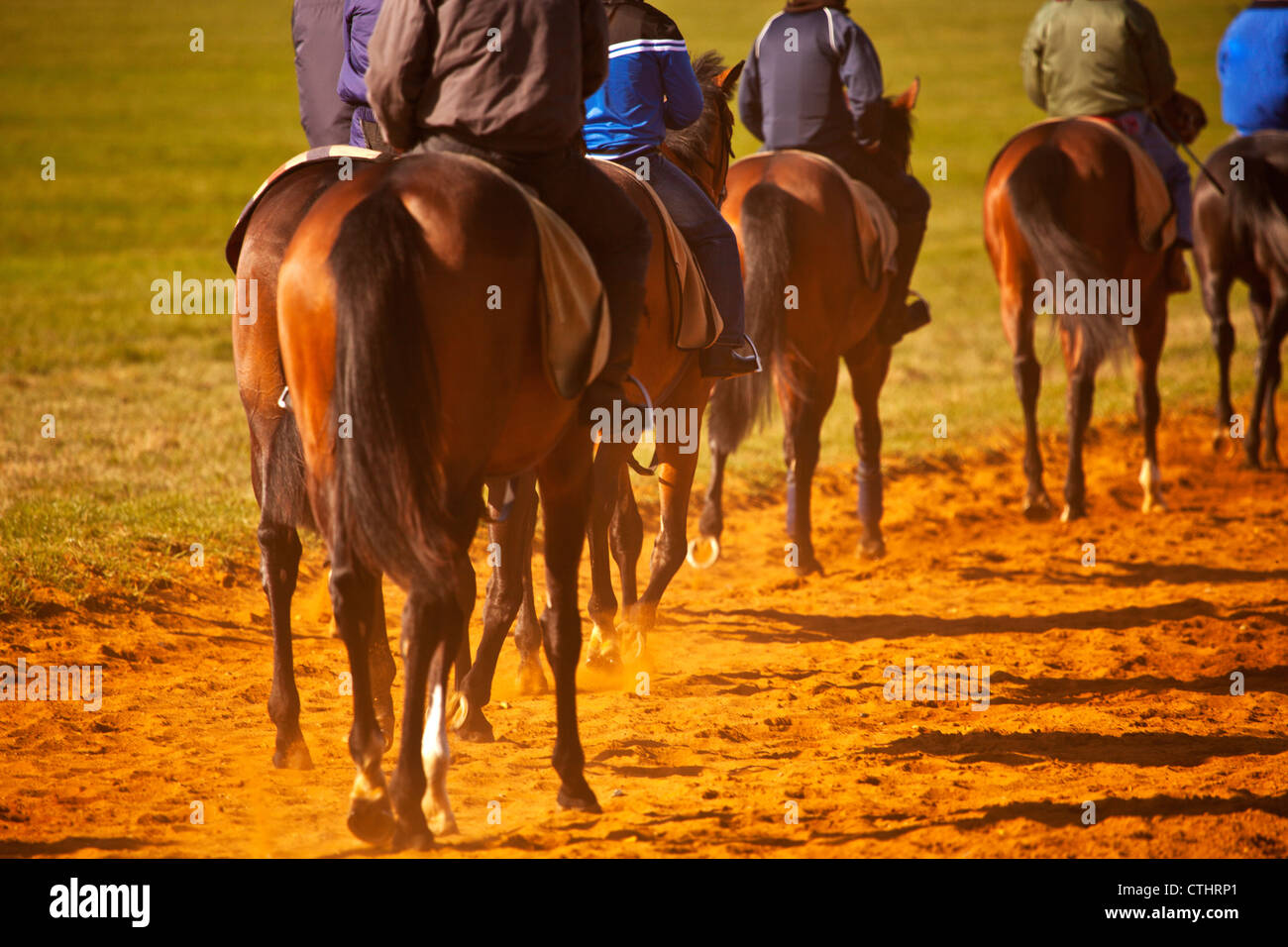 A string of racehorses walking back to the start line during training at the National Stud in Newmarket Stock Photo