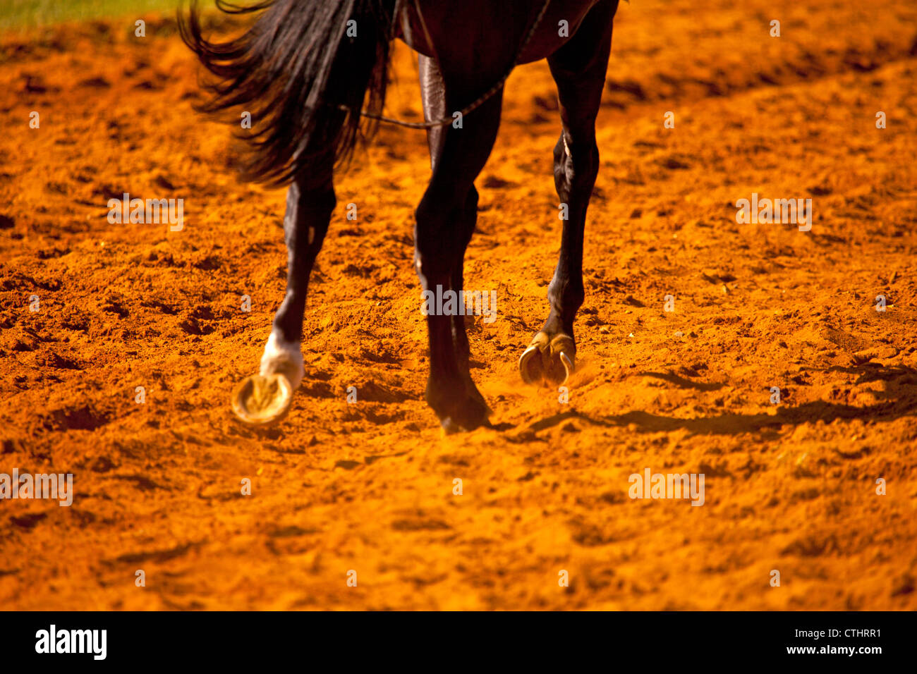 A close up image of the hooves of a racehorse in the red sand on the training course - Stock Image