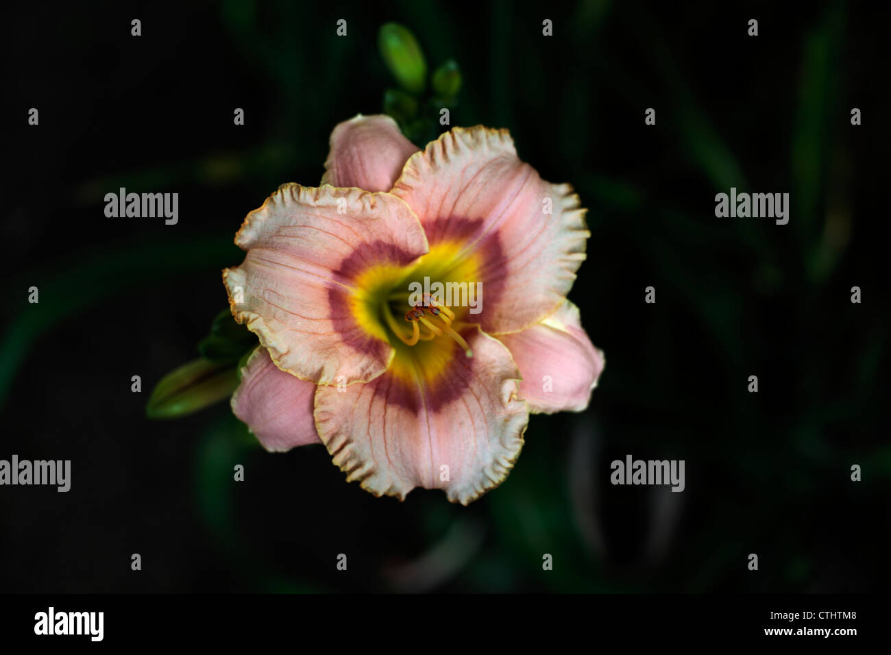 Peachy lily flower. - Stock Image