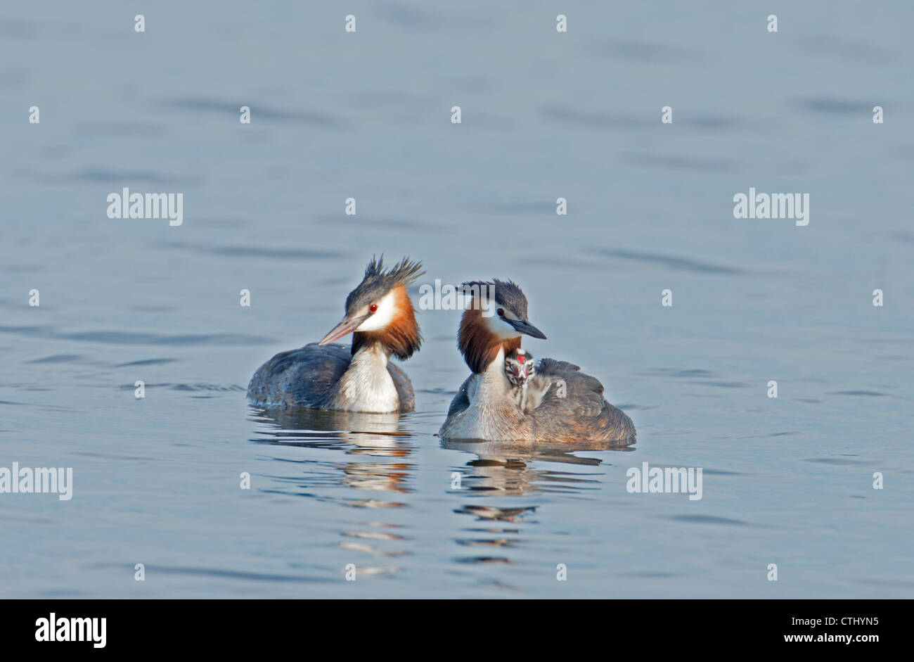 PAIR OF GREAT CRESTED GREBES Podiceps cristatus WITH CHICK - Stock Image