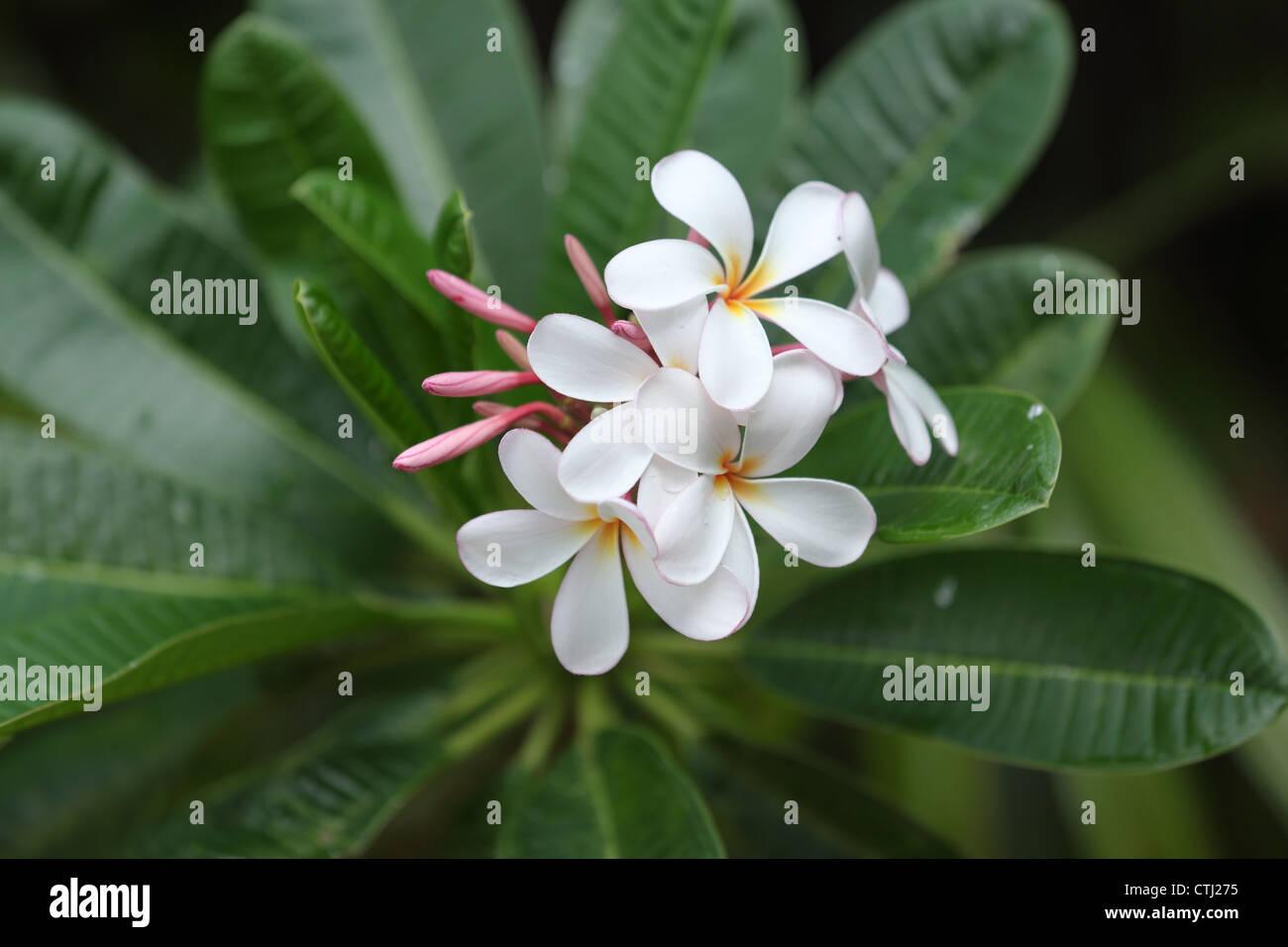 Plumeria flowers stock photos plumeria flowers stock images alamy white plumeria flowers hawaii stock image mightylinksfo