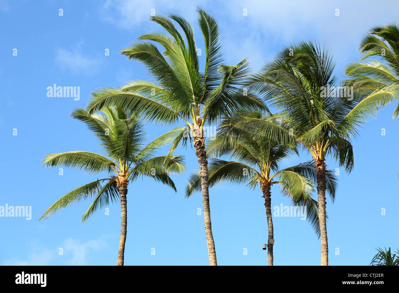 Tropical Palm Trees, Hawaii - Stock Image