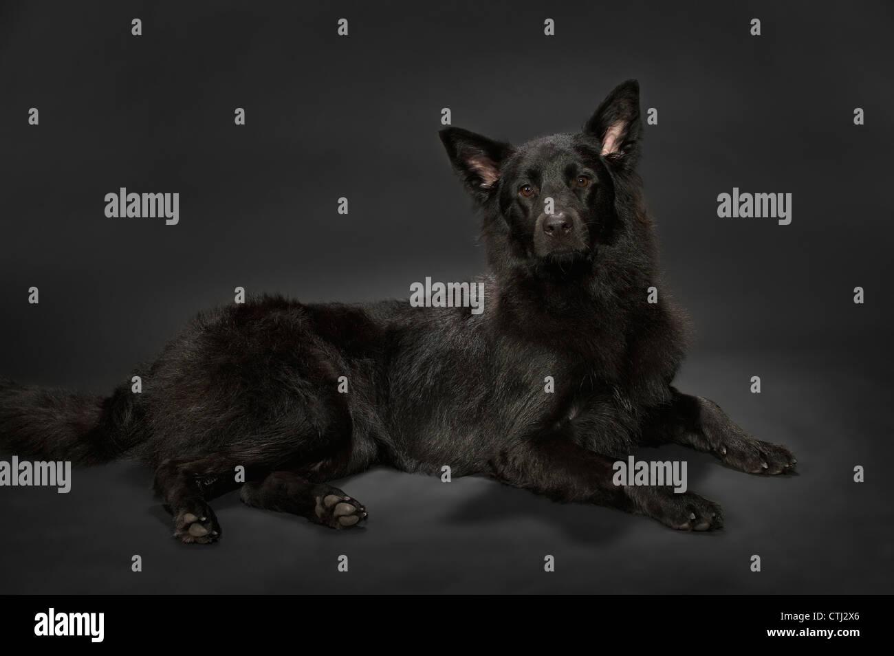 Black Shepherd Dog On A Dark Grey Background - Stock Image