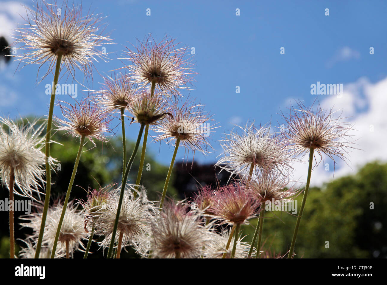 Pulsatilla vulgaris plant in the mountains of New Zealand - Stock Image