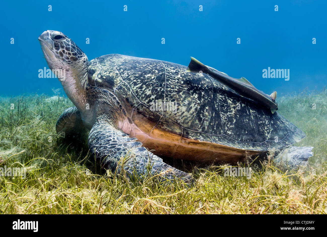 Green Turtle with a large Remora on it's shell rests on some shallow seagrass in the Egyptian Red Sea (Nuweiba) - Stock Image