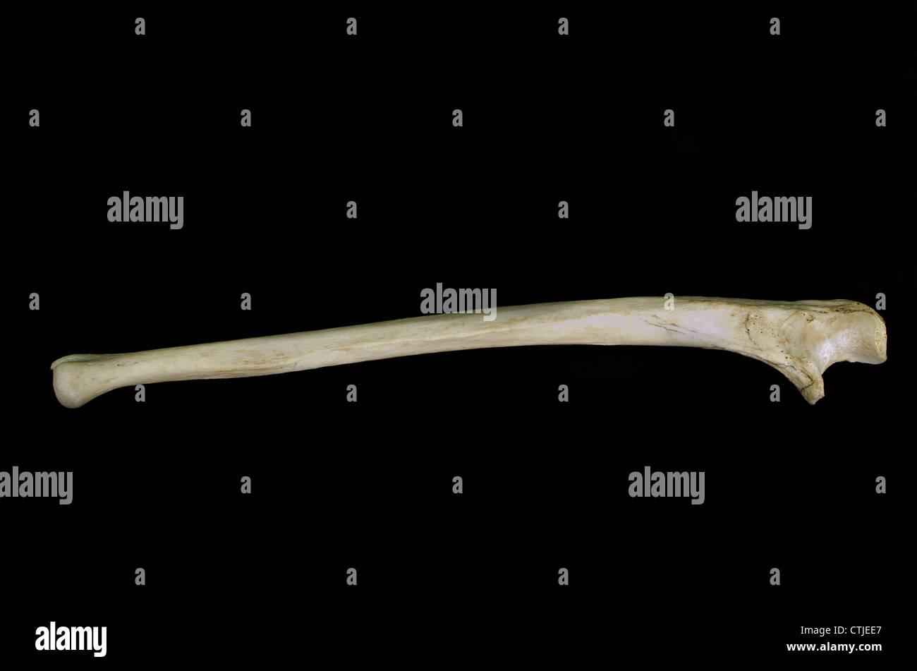 Human Ulna Bone Stock Photos Human Ulna Bone Stock Images Alamy