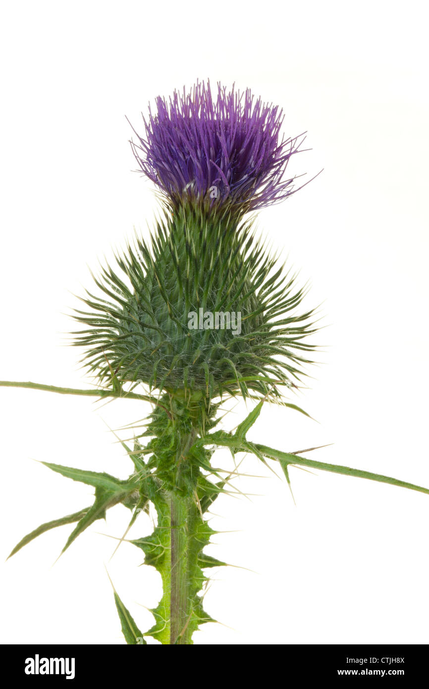 Close up of a thistle flower against white Stock Photo