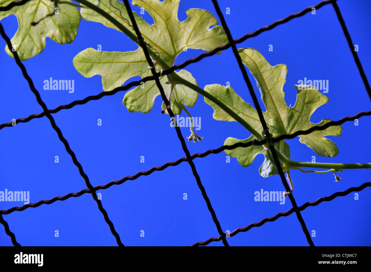 Ivy leaves with blue sky - Stock Image