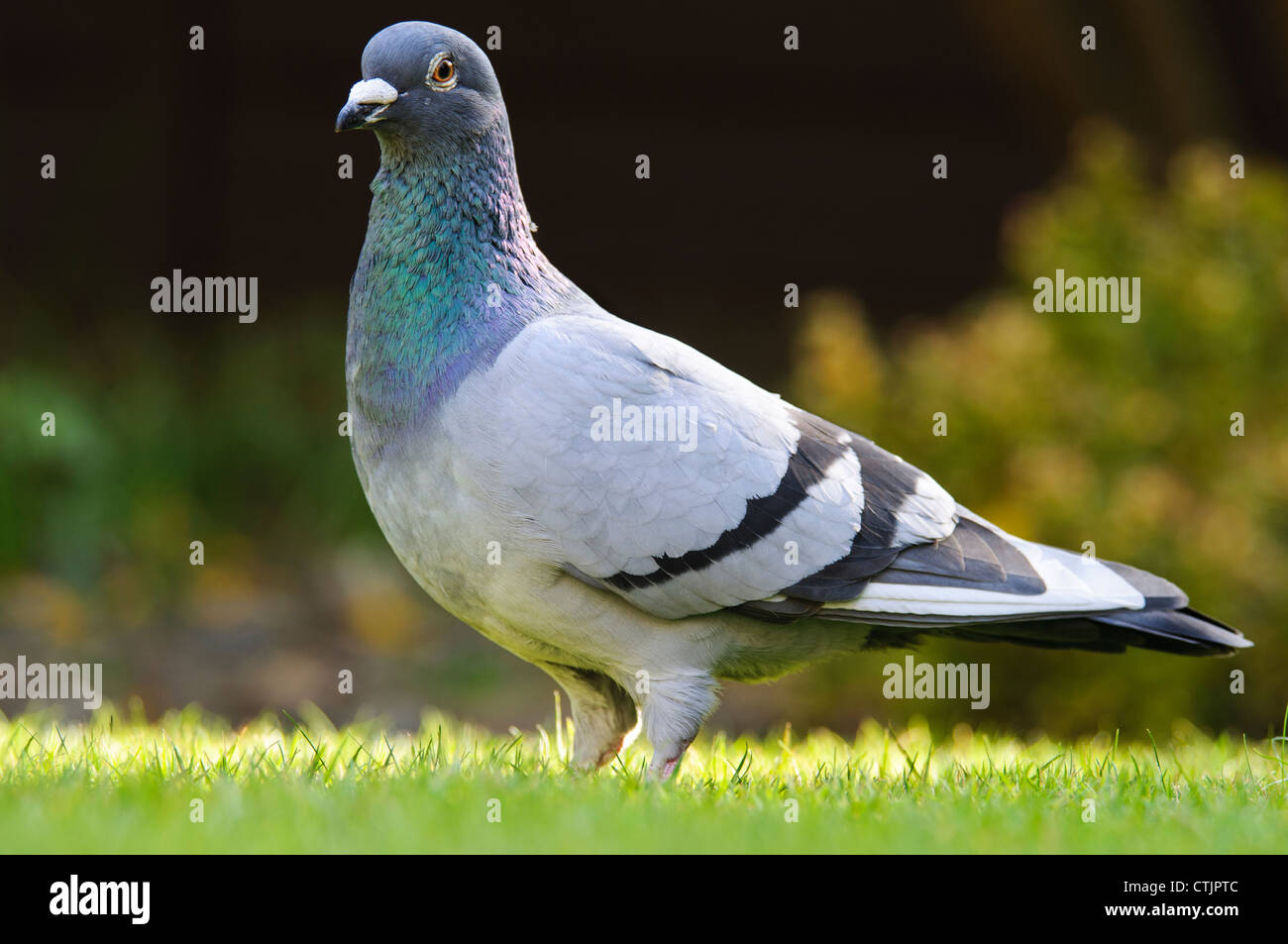 A feral pigeon (Columba livia) perched on a lawn in Belvedere, Kent. April. - Stock Image