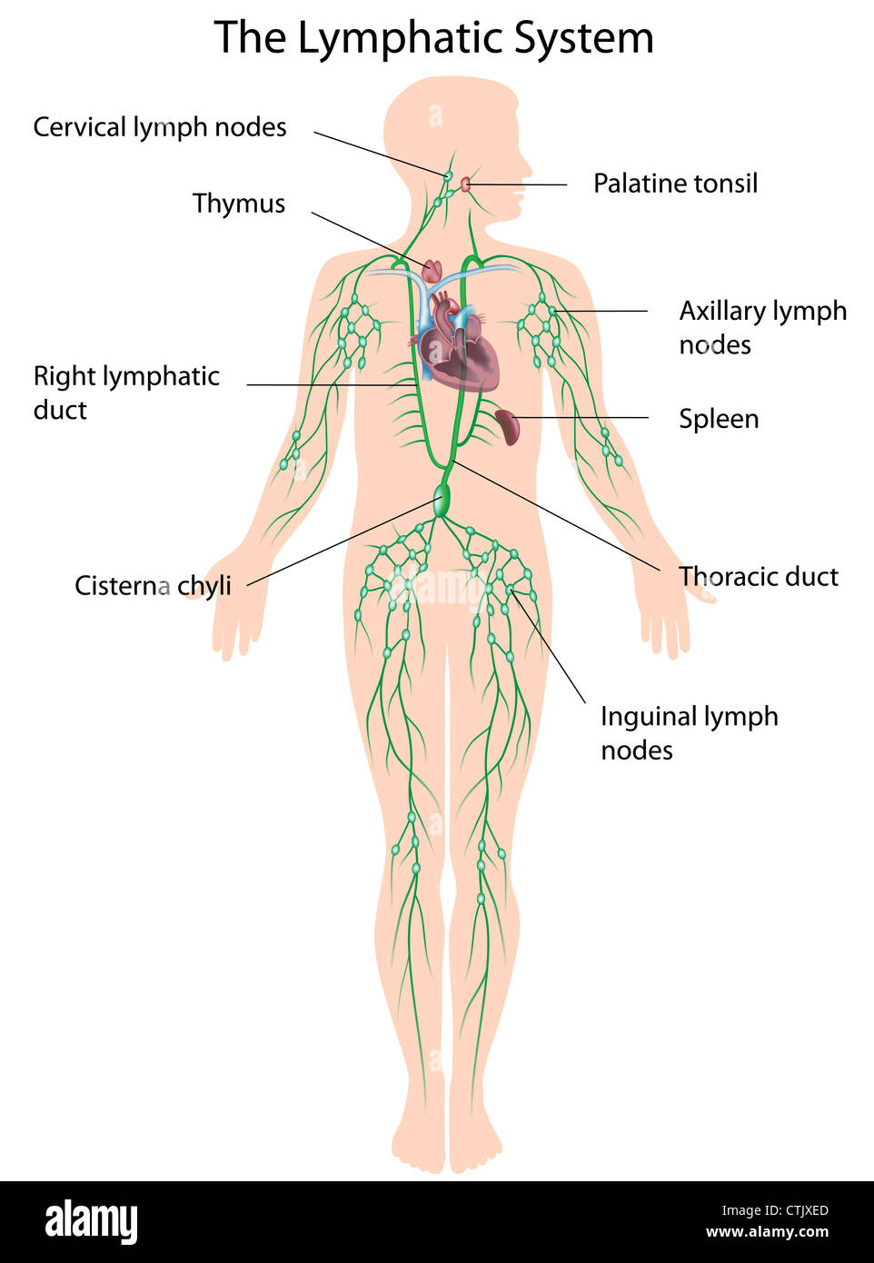 Lymphatic Duct Stock Photos Lymphatic Duct Stock Images Alamy